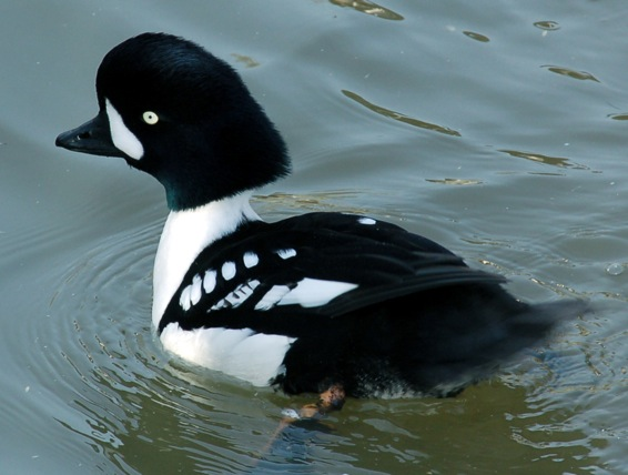 this duck breeds in no other place in europe the population consisting of some 200 birds is dependent on - Duck Breeds
